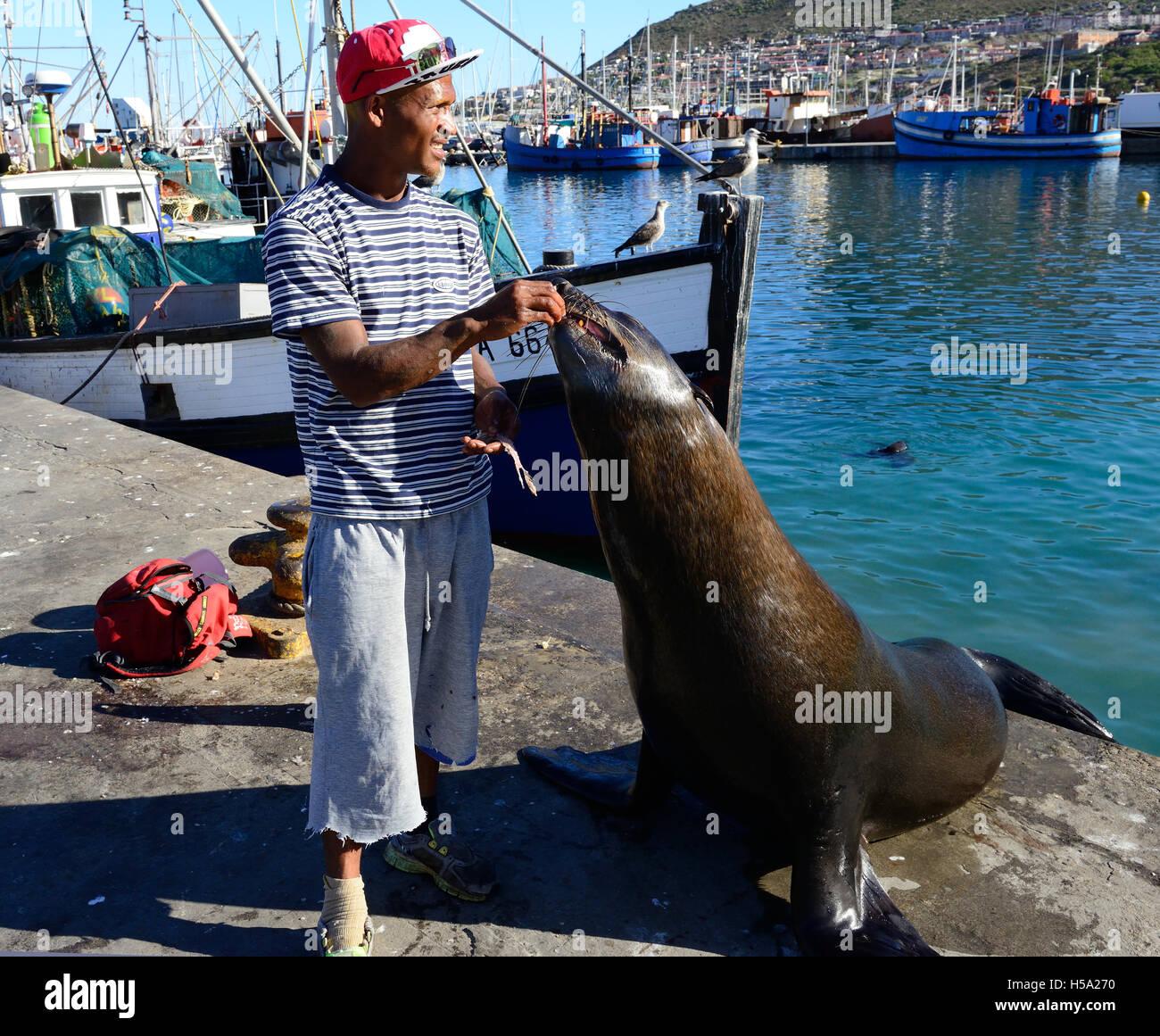 """Mann, allgemein bekannt als die """"Siegel-Mann"""" von Hout bay Siegel mit Fisch füttern, als touristische Stockbild"""