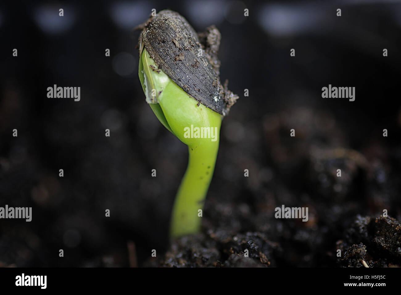kleinen Spross aus Samen Stockbild