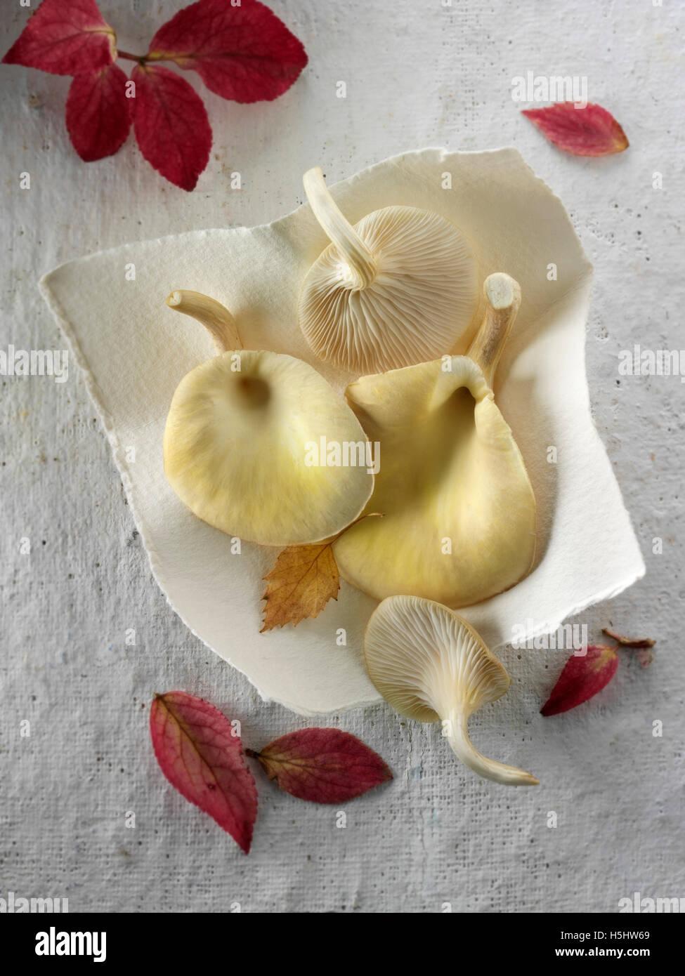 Frisch gepflückt essbar gelb oder golden Austernseitling (Pleurotus Citrinopileatus) Stockbild