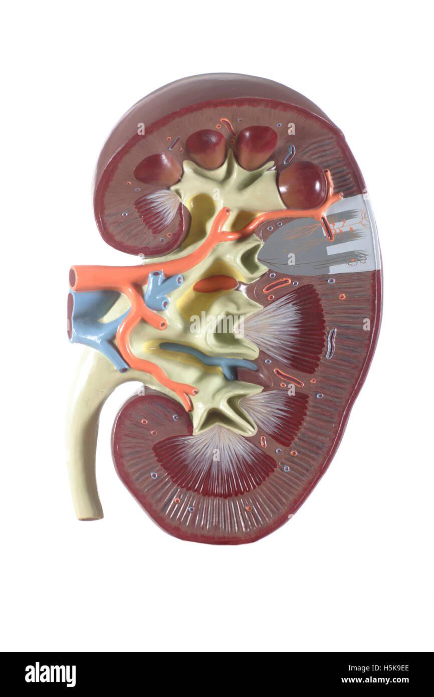 Ausgezeichnet Anatomie Und Physiologie Modell Zeitgenössisch ...