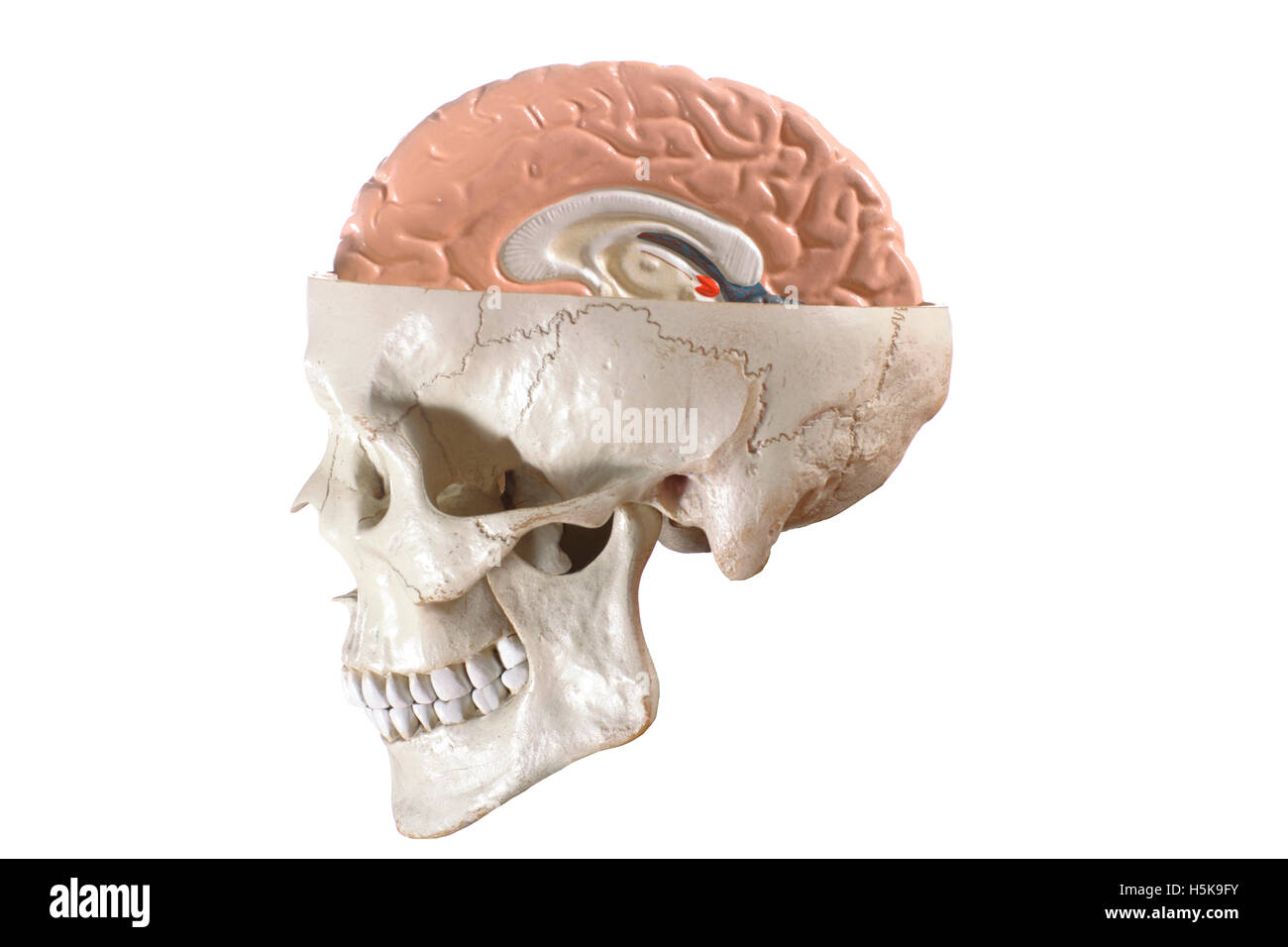Brain Parts Stockfotos & Brain Parts Bilder - Alamy