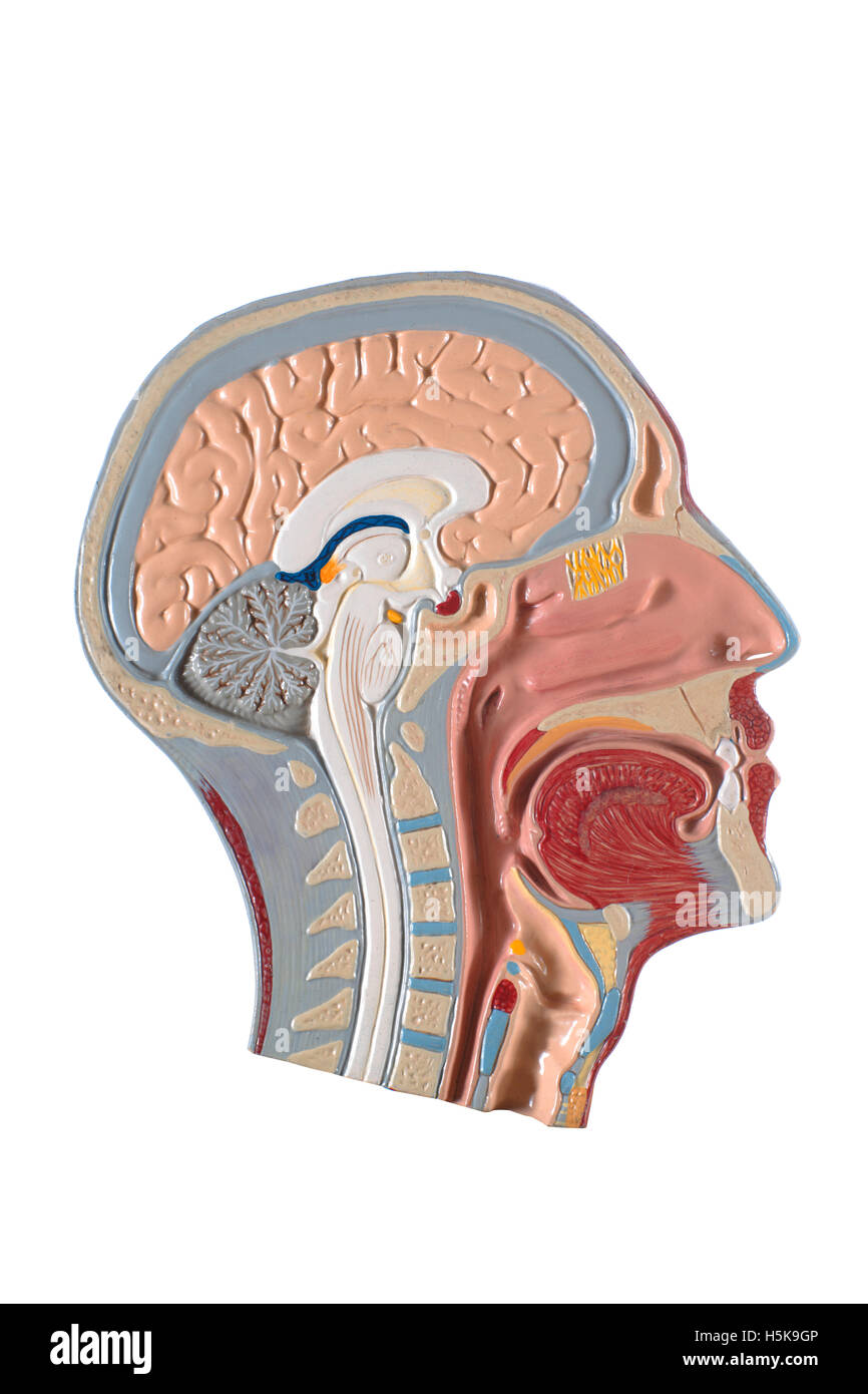 Anatomisches Modell des Kopf, Gehirn und Atemwege Stockfoto, Bild ...