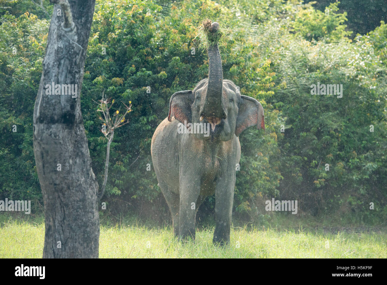 Asiatischer Elefant, Elephas Maximus, Gal Oya Nationalpark, Sri Lanka Stockbild