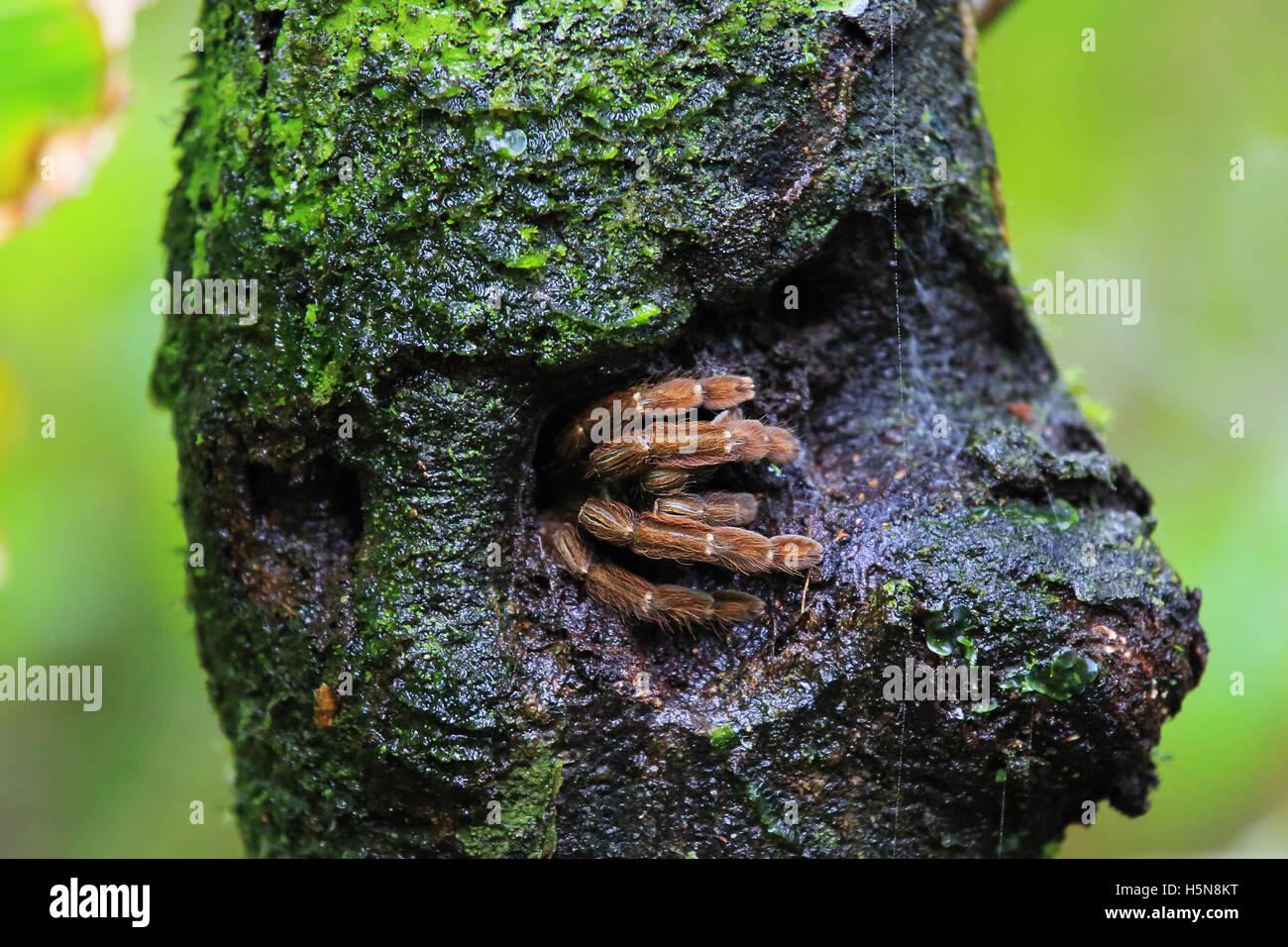 Vogelspinne in Loch im Baumstamm versteckt. Tropischer Regenwald, Nationalpark Tortuguero, Costa Rica. Stockbild