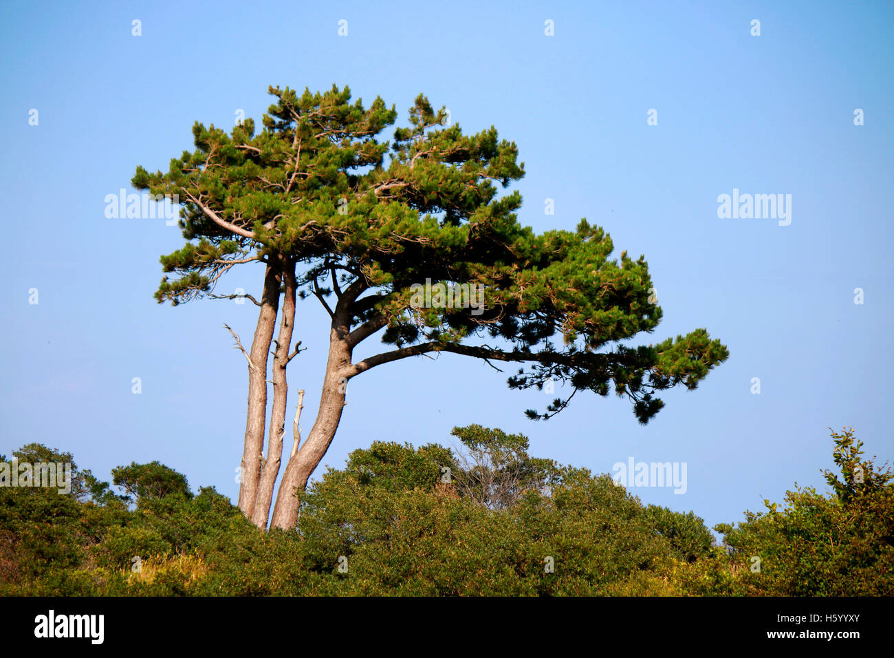 Baum, Rügen. Stockbild