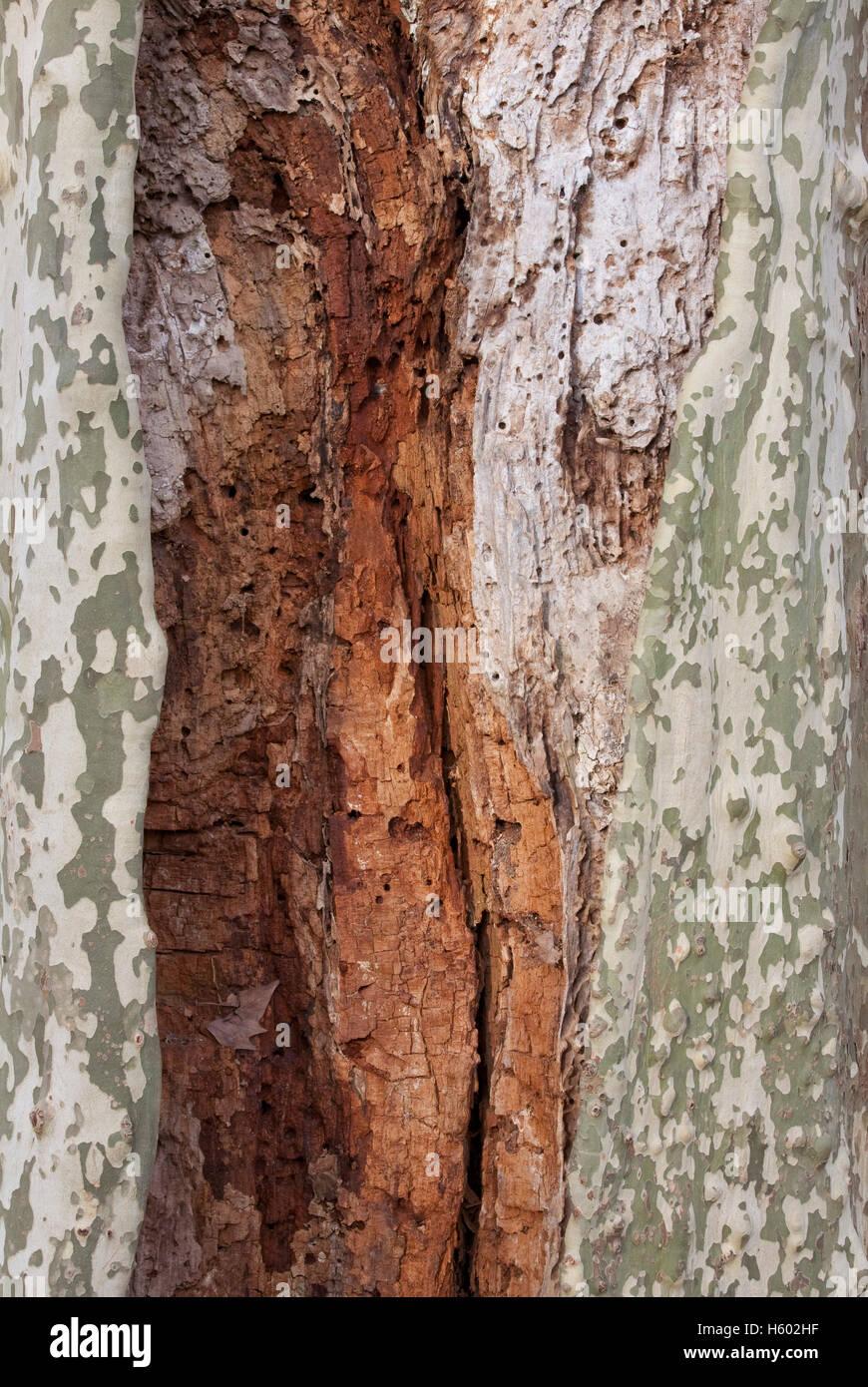 baumstamm von einer platane (platanus), platane, holz-wurm befallen