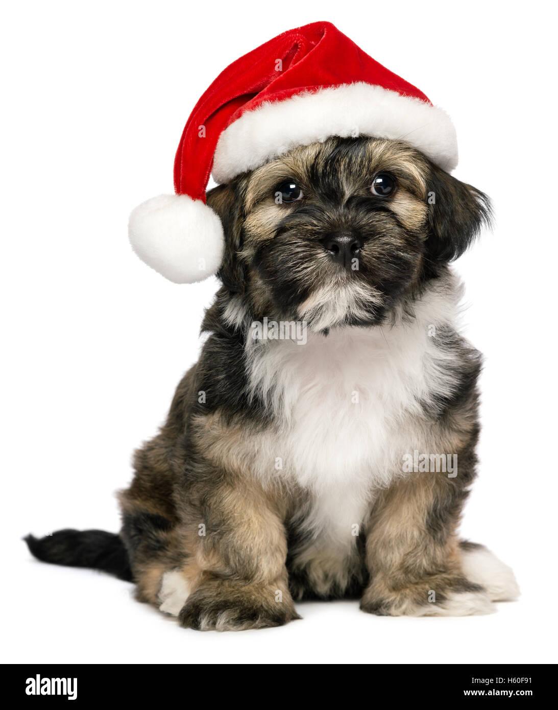 Süße Weihnachten Havaneser Welpe Hund Mit Einer Weihnachtsmütze