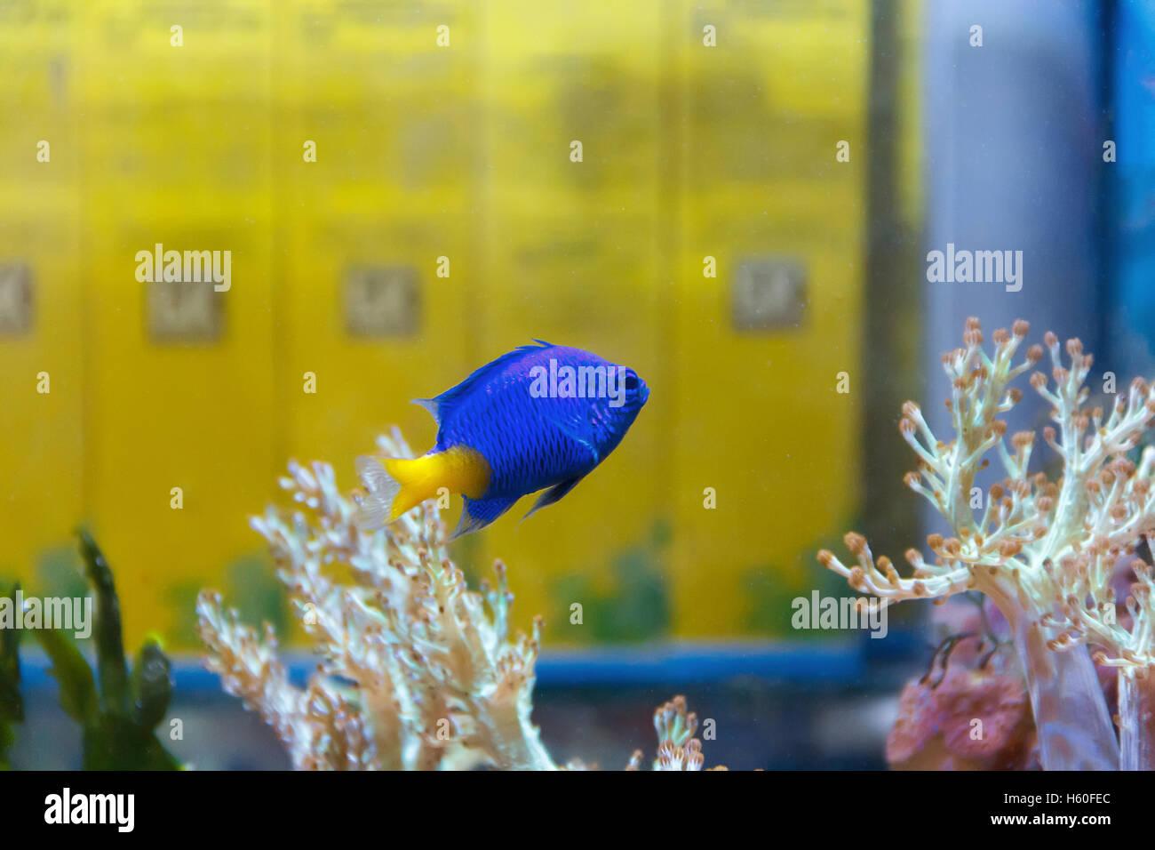 Ein blauer Fisch Chrysiptera Parasema mit gelben Schweif Schwimmen im aquarium Stockbild