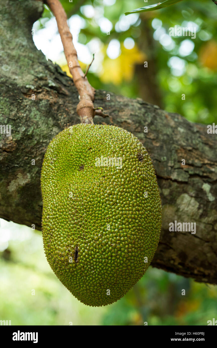 Brotfrucht, Wellawaya, Sri Lanka Stockbild