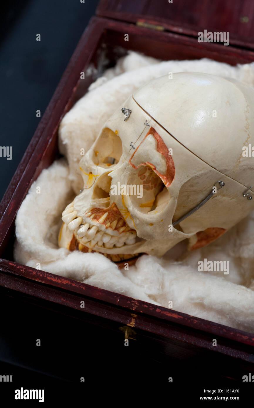 Menschlicher Schädel Kopf gespendet, um die Lehre der Anatomie ...