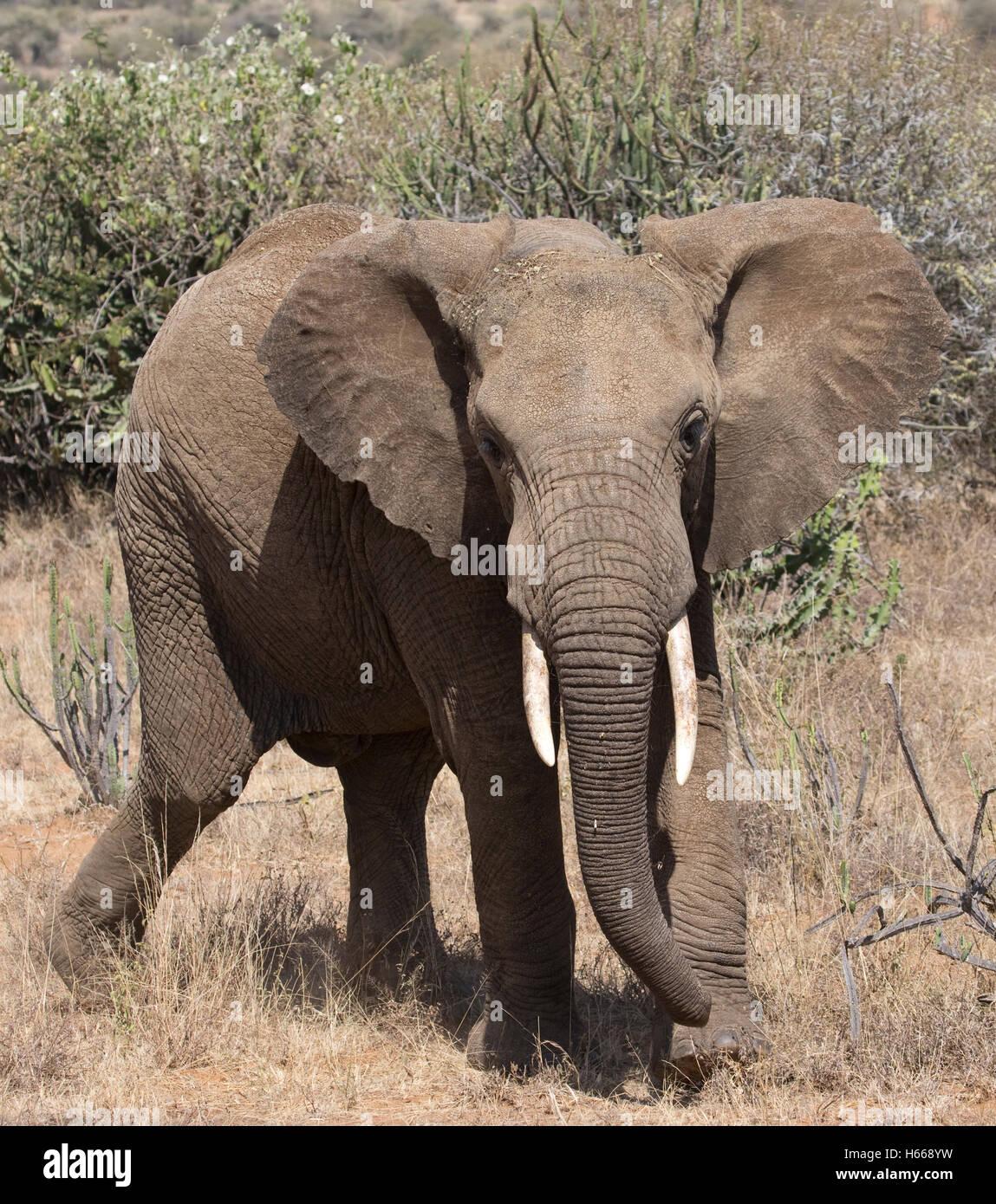 Ein afrikanischer Elefant droht Laikipia Plateau Grasland Kenia Stockbild
