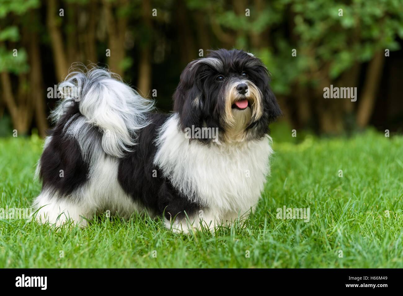 Glücklich Kleine Schwarze Und Weiße Havaneser Welpen Hund Steht In