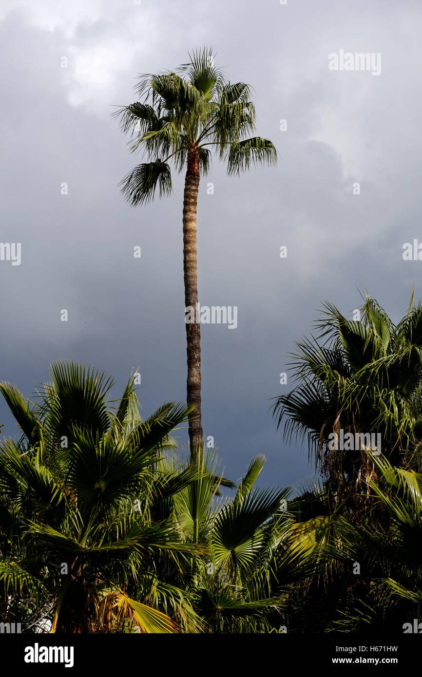Eine große Palme zeichnet sich gegenüber einem dunklen Grau Himmel bedrohlich Stockbild