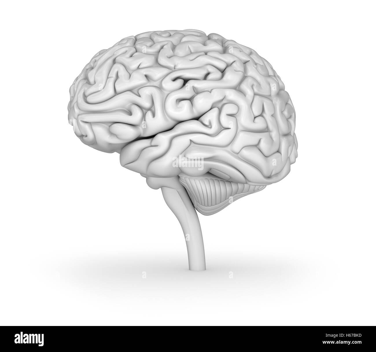 Erfreut Markierte Diagramme Des Gehirns Ideen - Menschliche Anatomie ...