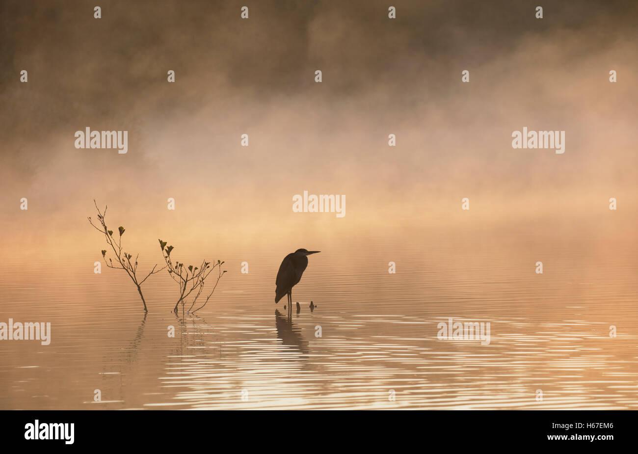 Graureiher mit Blick auf nebligen See im Morgengrauen Stockbild