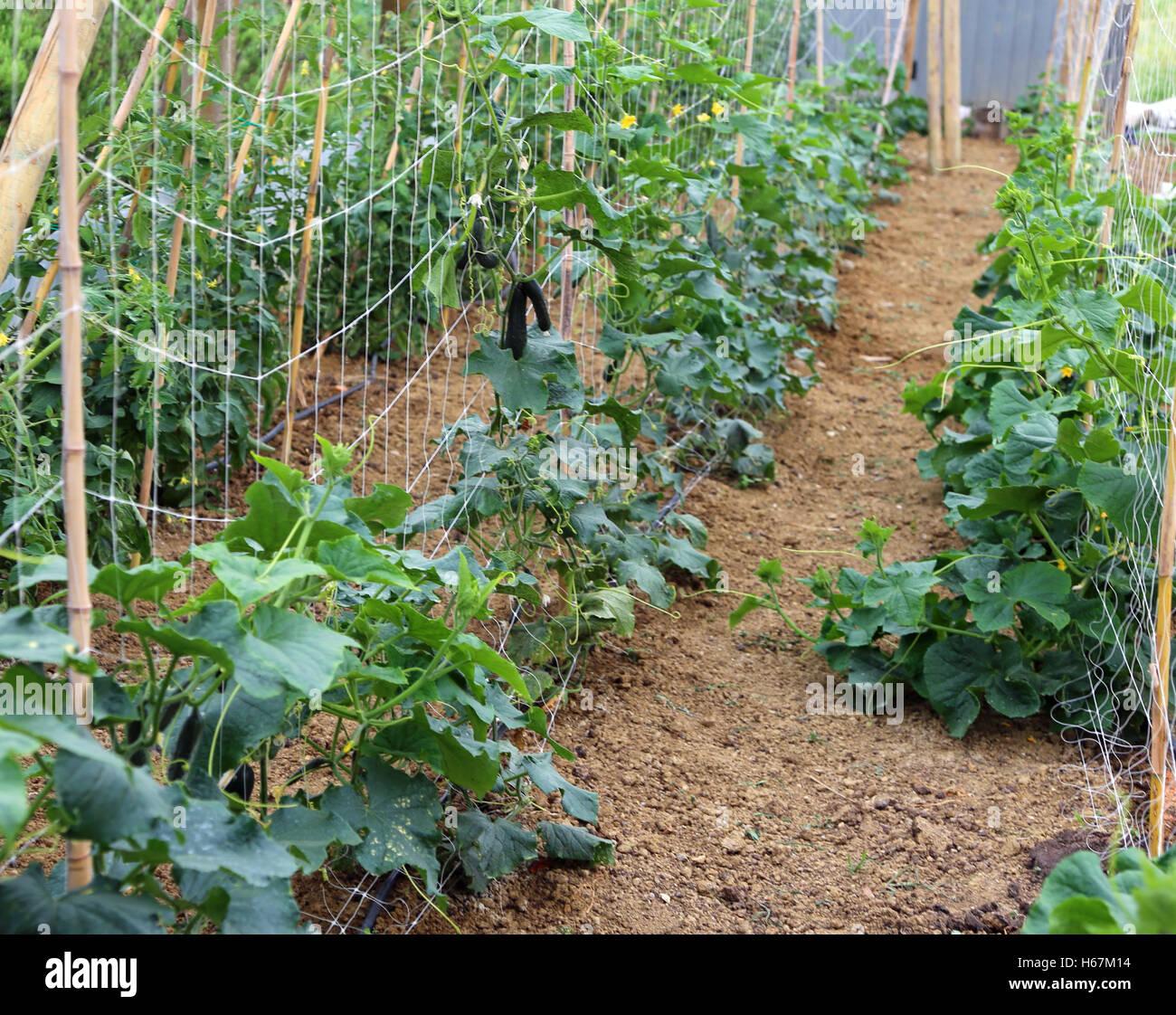 Pflanzen Der Grunen Gurken In Einem Grossen Gewachshaus Mit