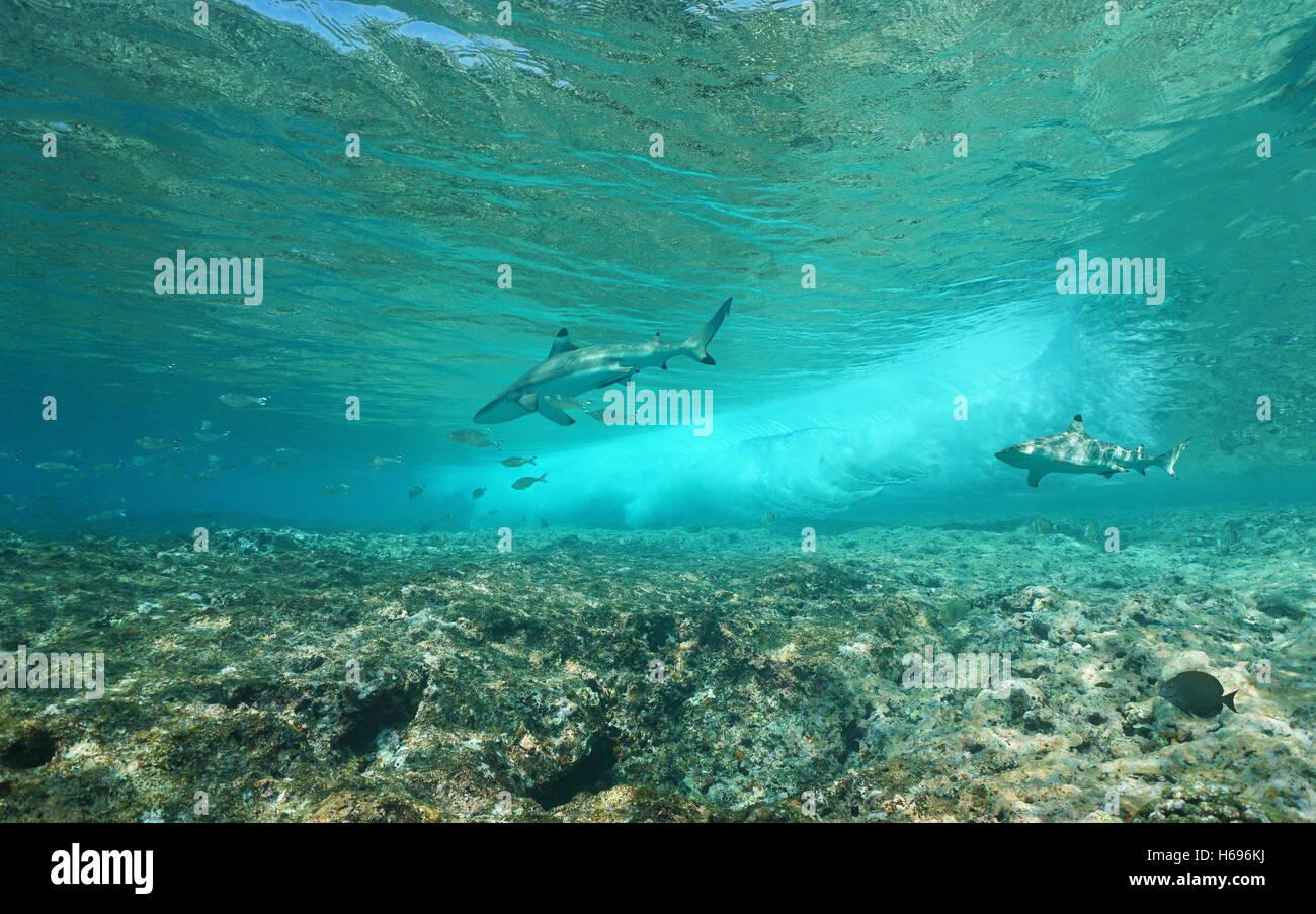 Unterwasser Meerwelle bricht am vorderen Riff mit zwei Schwarzspitzen-Riffhaie, Pazifik, Huahine, Französisch Stockbild