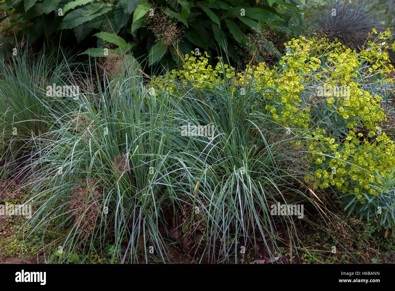 """Schizachyrium (Schizachyrium Scoparium) """"Blue Heaven"""" und Wolfsmilch im Sommer Stockbild"""