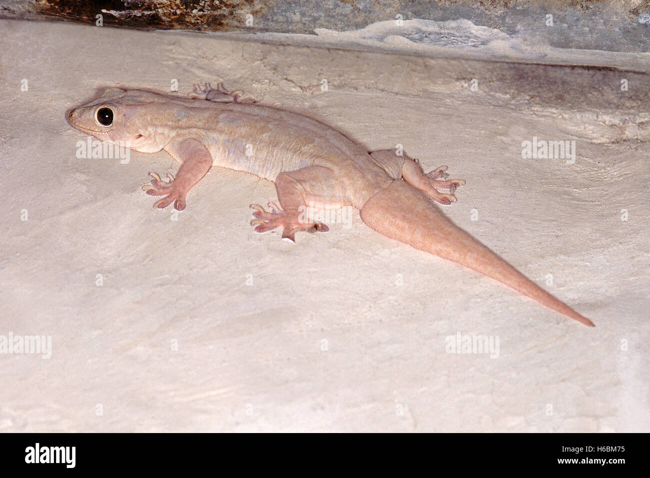 Bauche Haus GECKO, Hemidactylus Flaviviridis. Gemeinsame Gecko, normalerweise in Häusern gefunden. Stockfoto