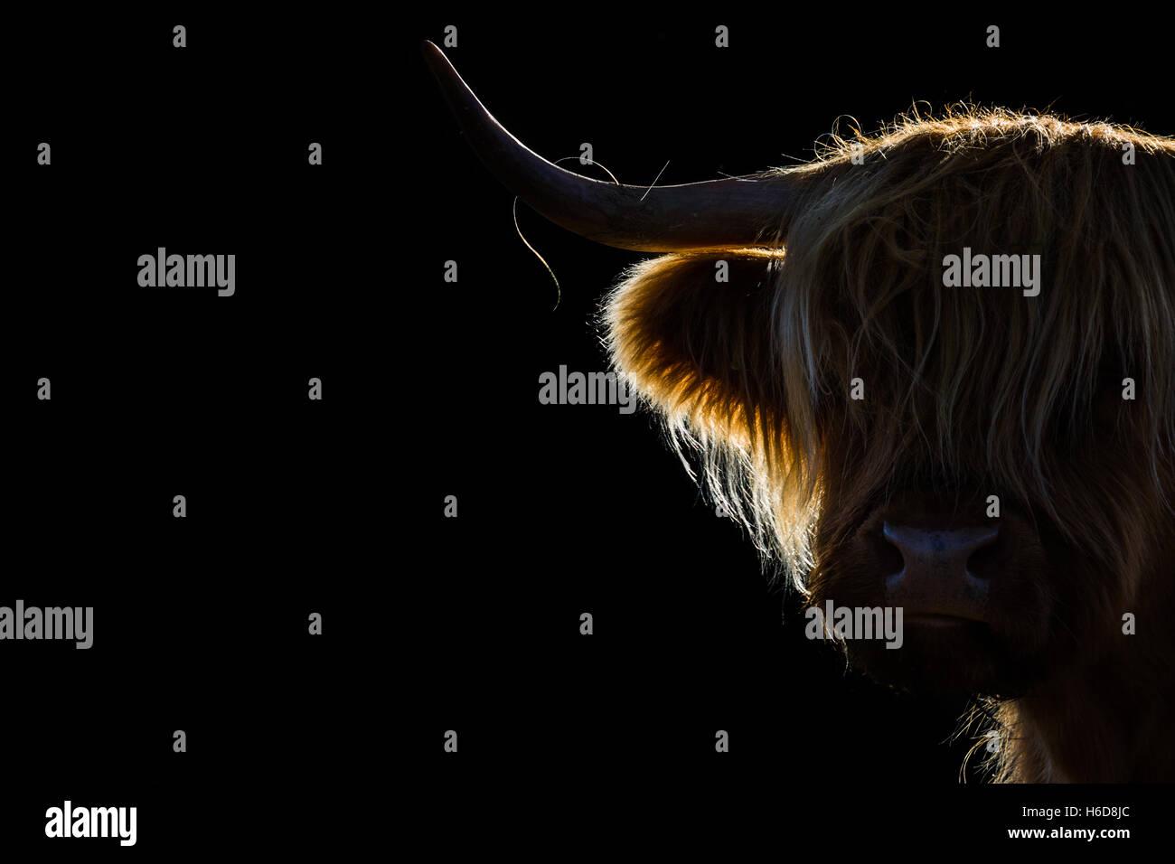 Hinterleuchtete Highland Kuh im morgendlichen Sonnenlicht. Stockbild