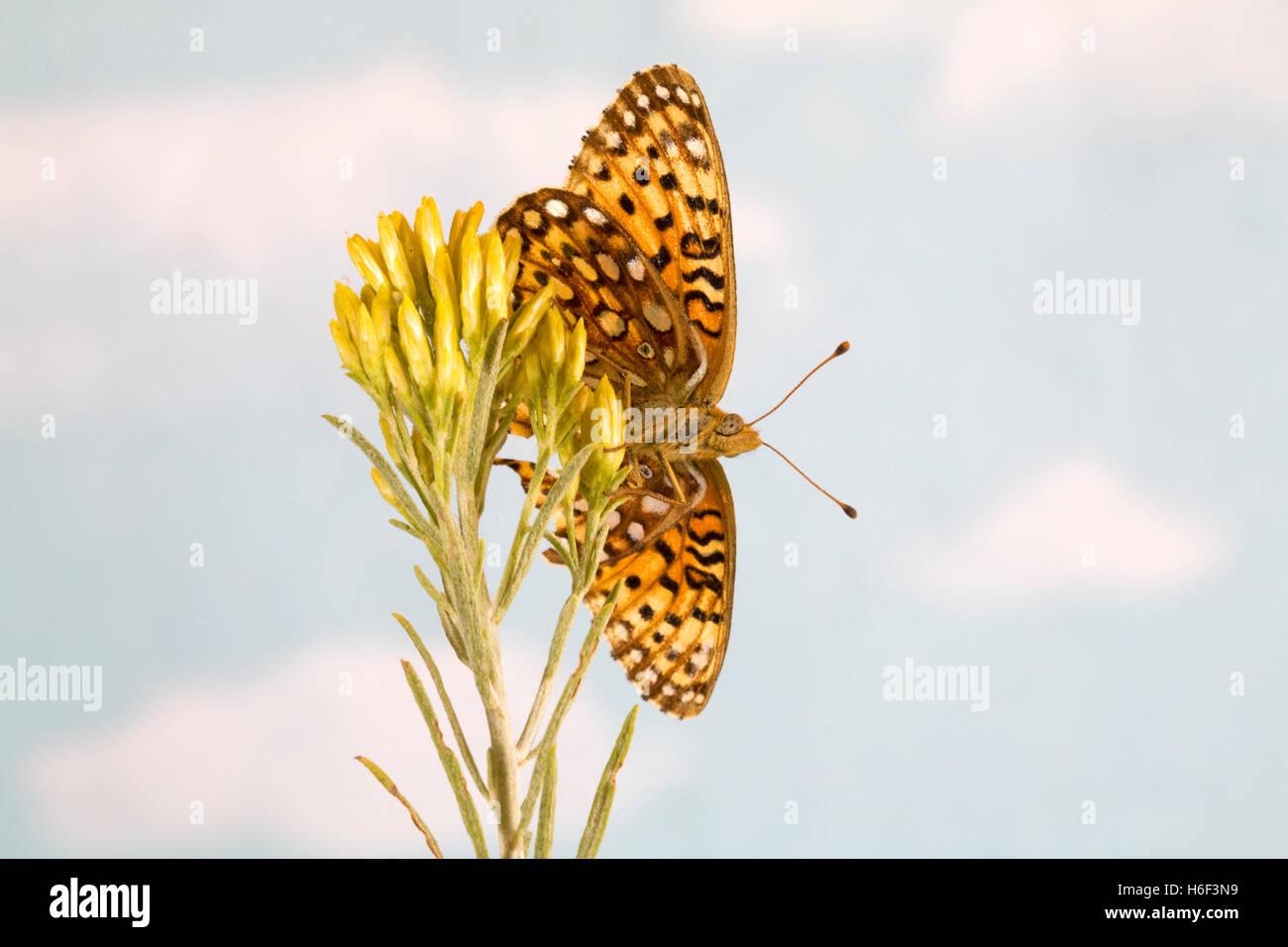 Ein Atlantis Fritillary, Speyeria Atlantis, Schmetterling, Stockbild