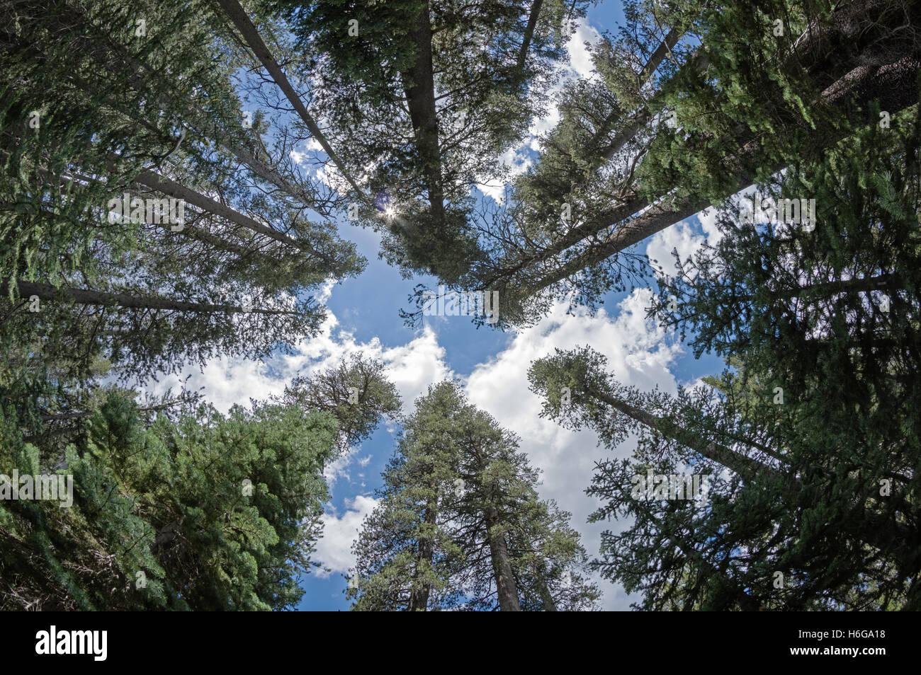 nach oben in den Baumkronen eines Pinienwaldes in Yosemite Nationalpark, Kalifornien Stockbild