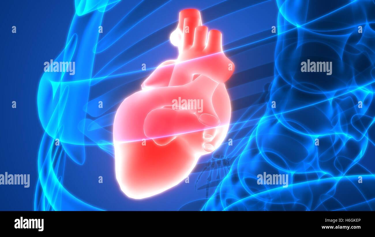 Großzügig Anatomie Des Menschlichen Herzens Ppt Bilder - Physiologie ...