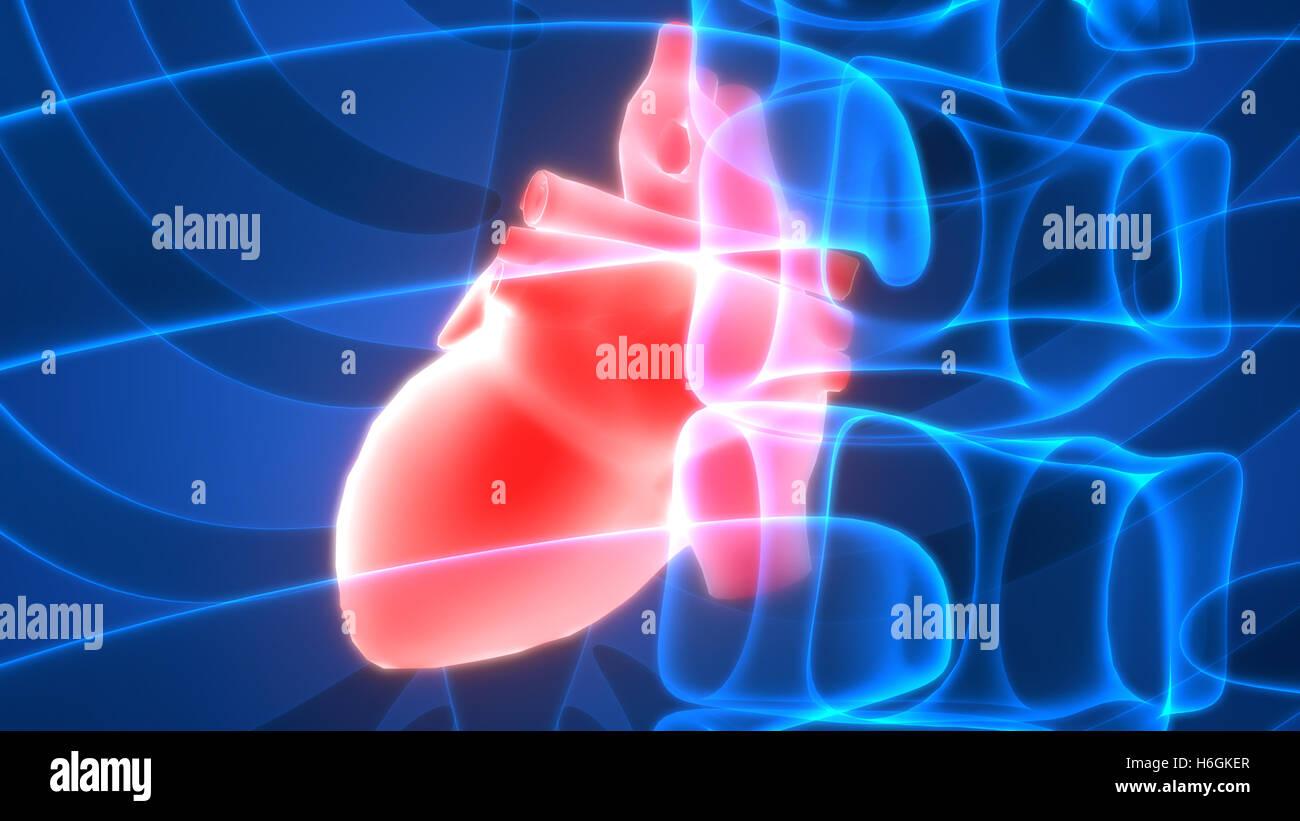 Anatomie des menschlichen Herzens Stockfoto, Bild: 124527055 - Alamy