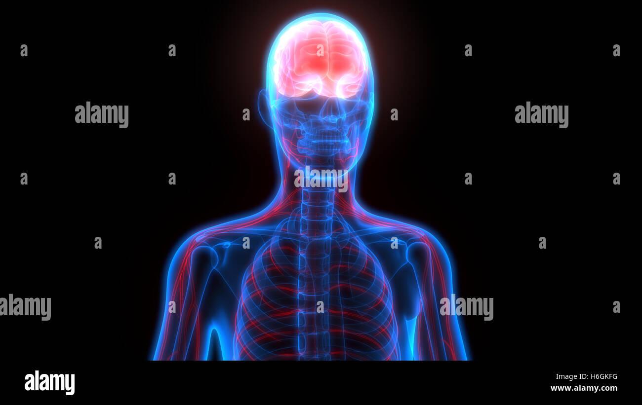 Menschliche Gehirn und Nervensystem Anatomie Stockfoto, Bild ...