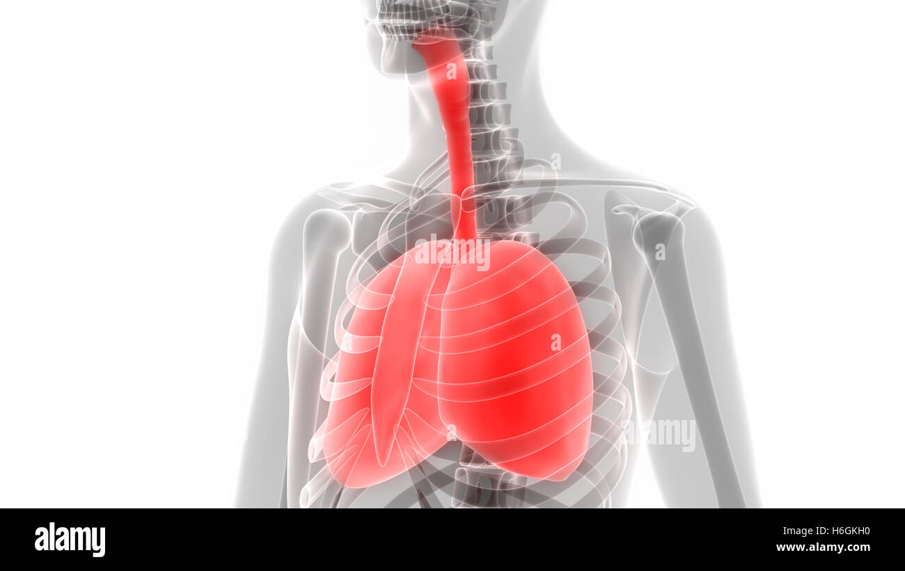 Circulatory System Lungs Stockfotos & Circulatory System Lungs ...