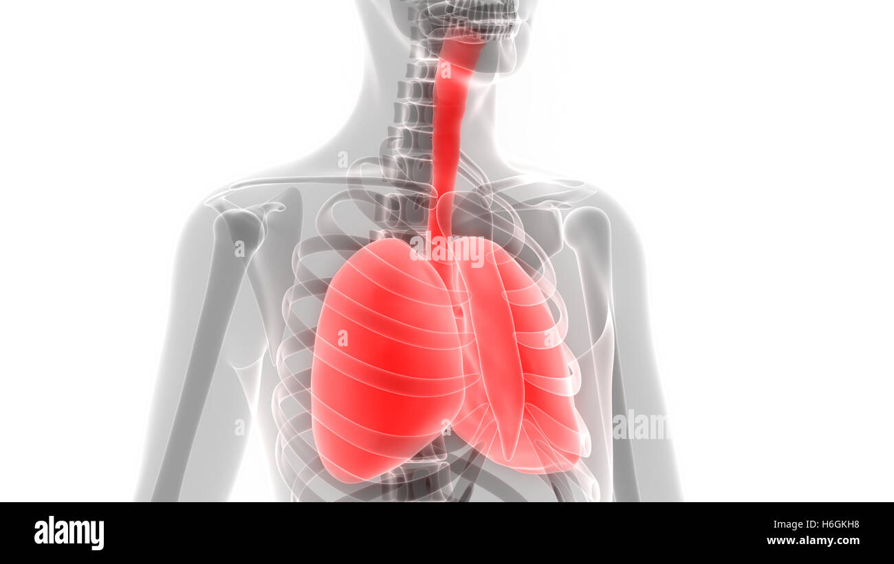 The Thymus And The Lungs Stockfotos & The Thymus And The Lungs ...