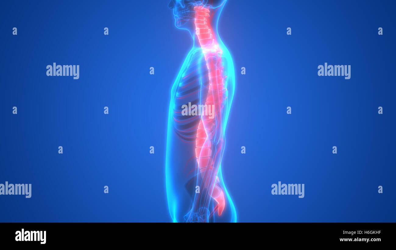 Rückenmark ein Teil der menschlichen Skelett Anatomie Stockfoto ...