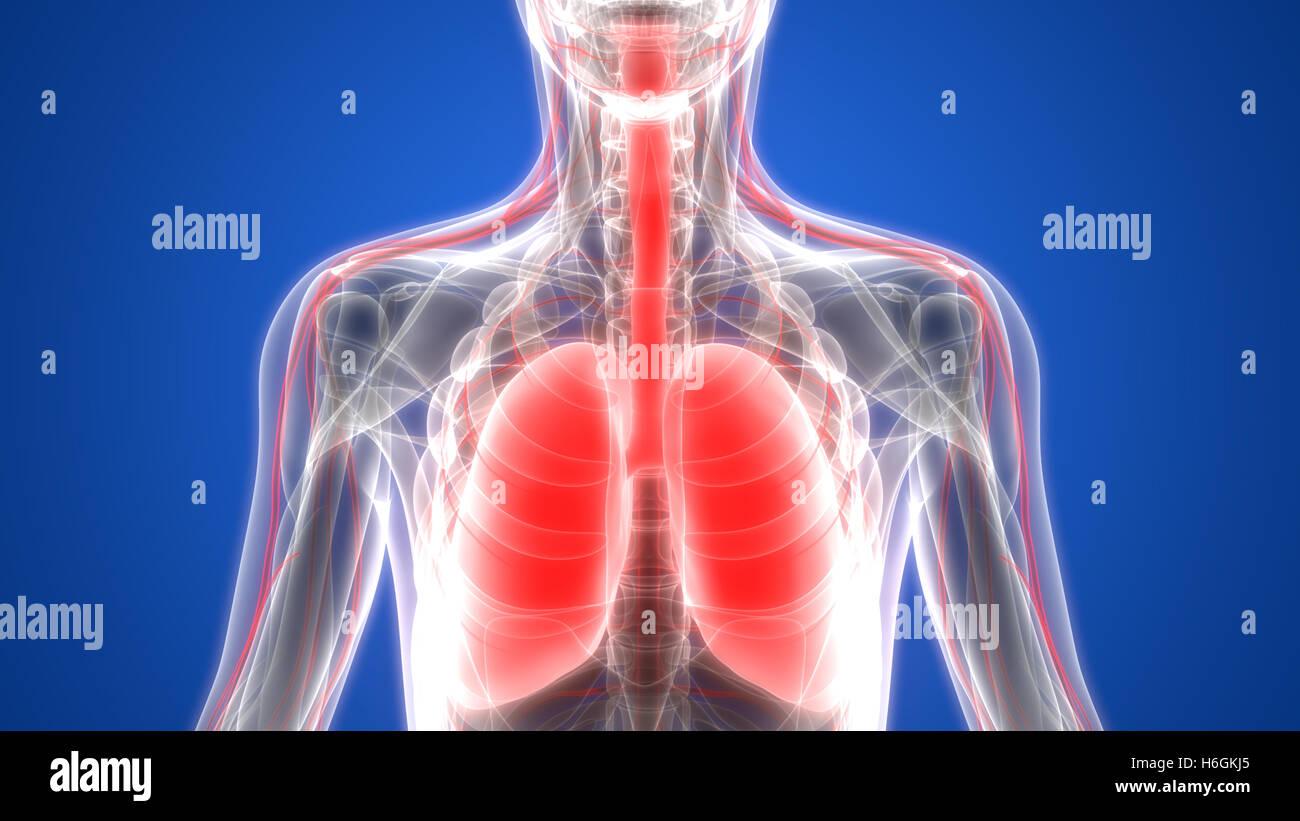 Menschliche Atmungssystem Lungen mit Nervensystem Anatomie Stockfoto ...
