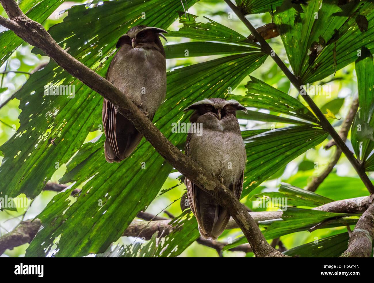 Ein paar Crested Eulen (Lophostrix Cristata) thront auf einem Ast im Amazonas-Regenwald. Yasuni-Nationalpark in Stockbild