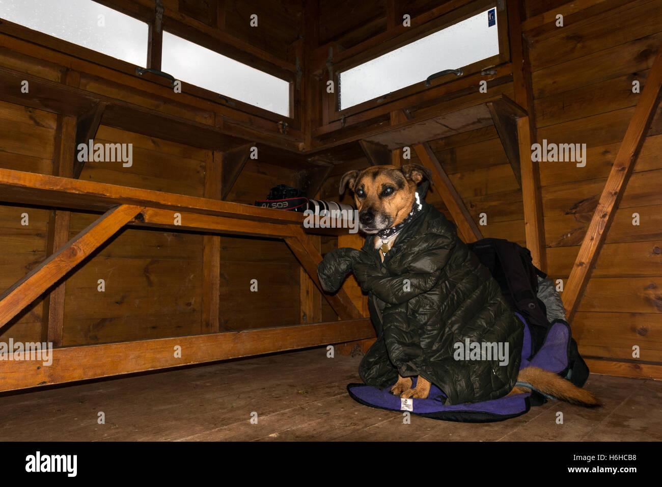 Haustiere: Hund freundlich Vogel versteckten, RSPB Loch von Strathbeg, Schottland, Großbritannien Stockbild