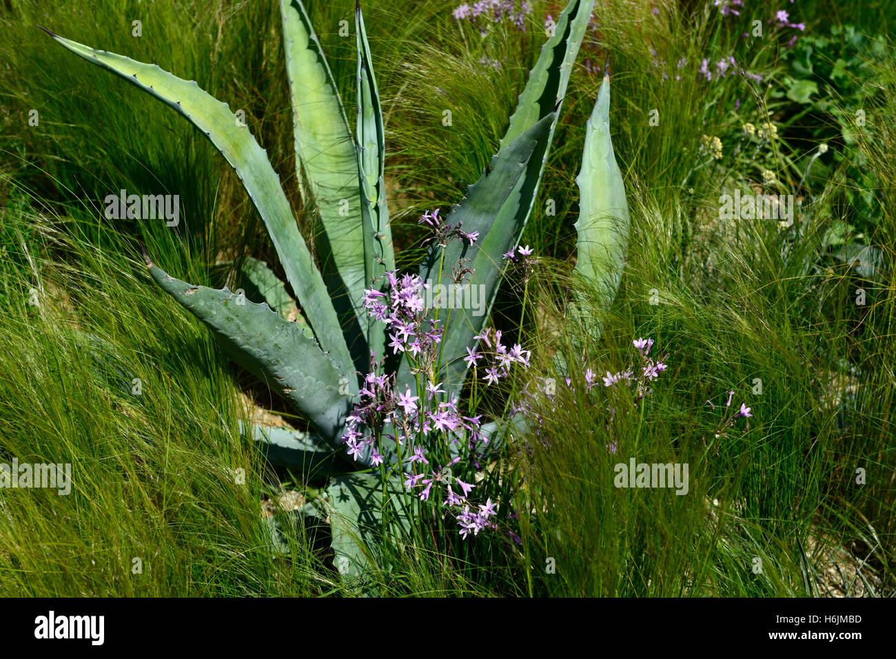 agave americana tulbaghia violacea nana stipa trocken w ste pflanze pflanzen pflanzen. Black Bedroom Furniture Sets. Home Design Ideas
