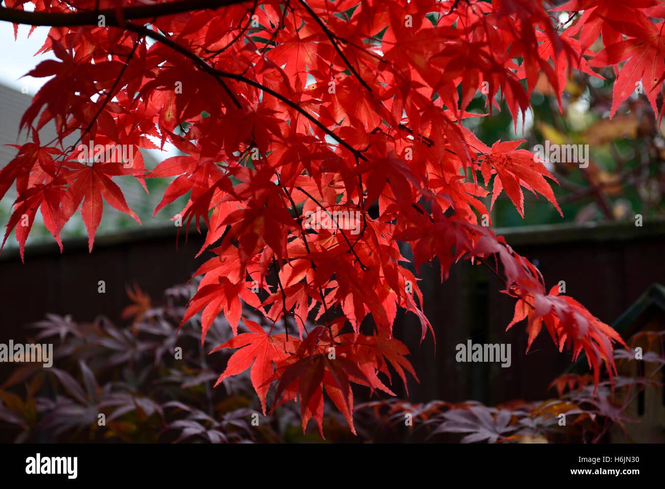acer palmatum osakazuki japanischer ahorn rote bl tter im herbst herbstliche farbe farben laub. Black Bedroom Furniture Sets. Home Design Ideas