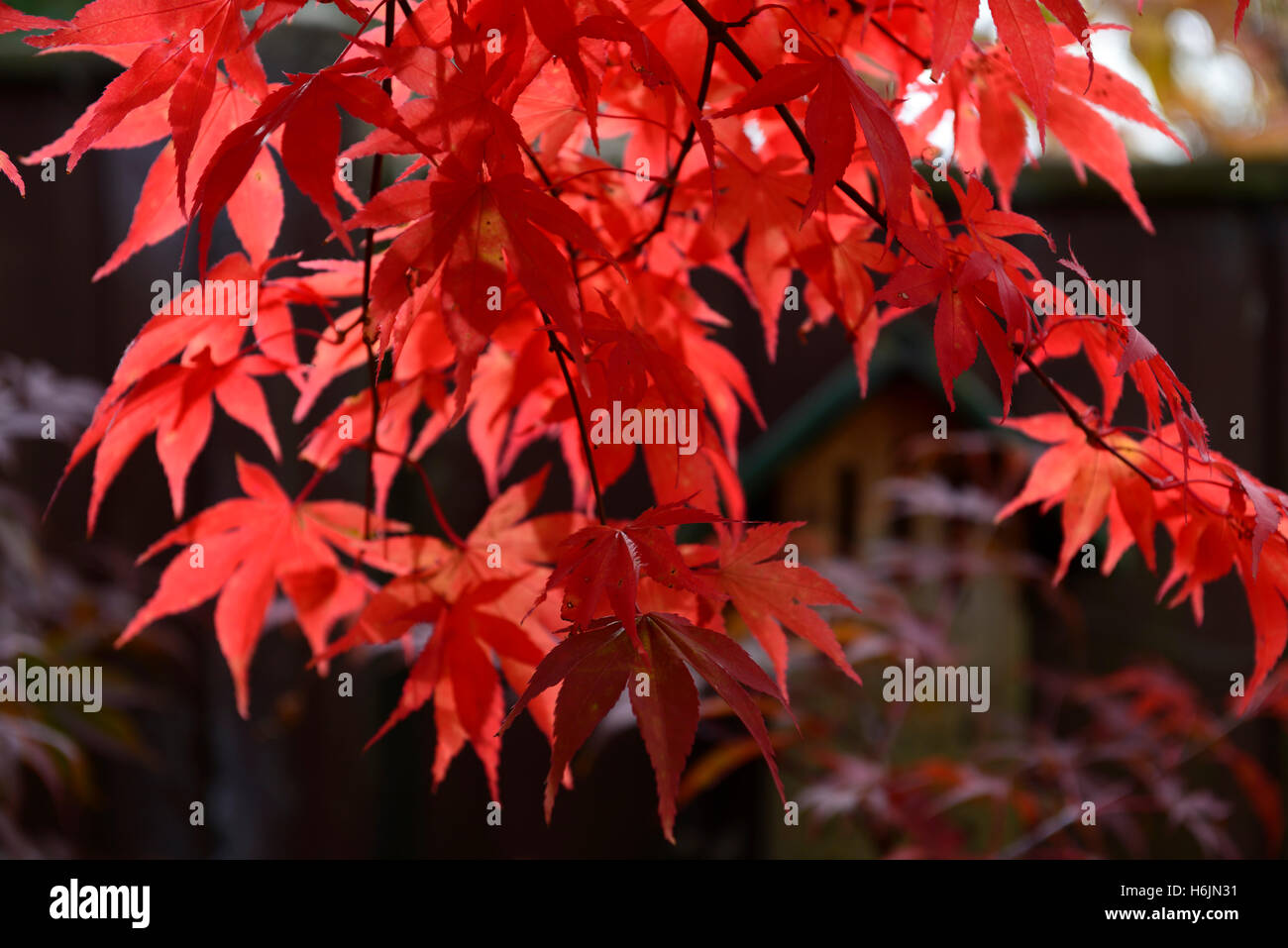 acer palmatum osakazuki stockfotos acer palmatum osakazuki bilder alamy. Black Bedroom Furniture Sets. Home Design Ideas