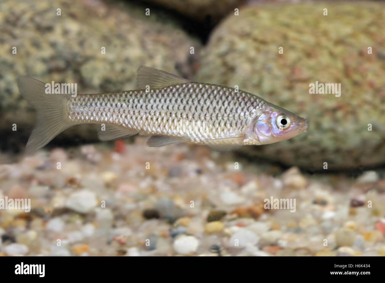 Der Stein moroko (Pseudorasbora parva), auch als topmouth Drehzapfen genannt, ist ein Fisch aus der cyprinidengewässer Stockbild