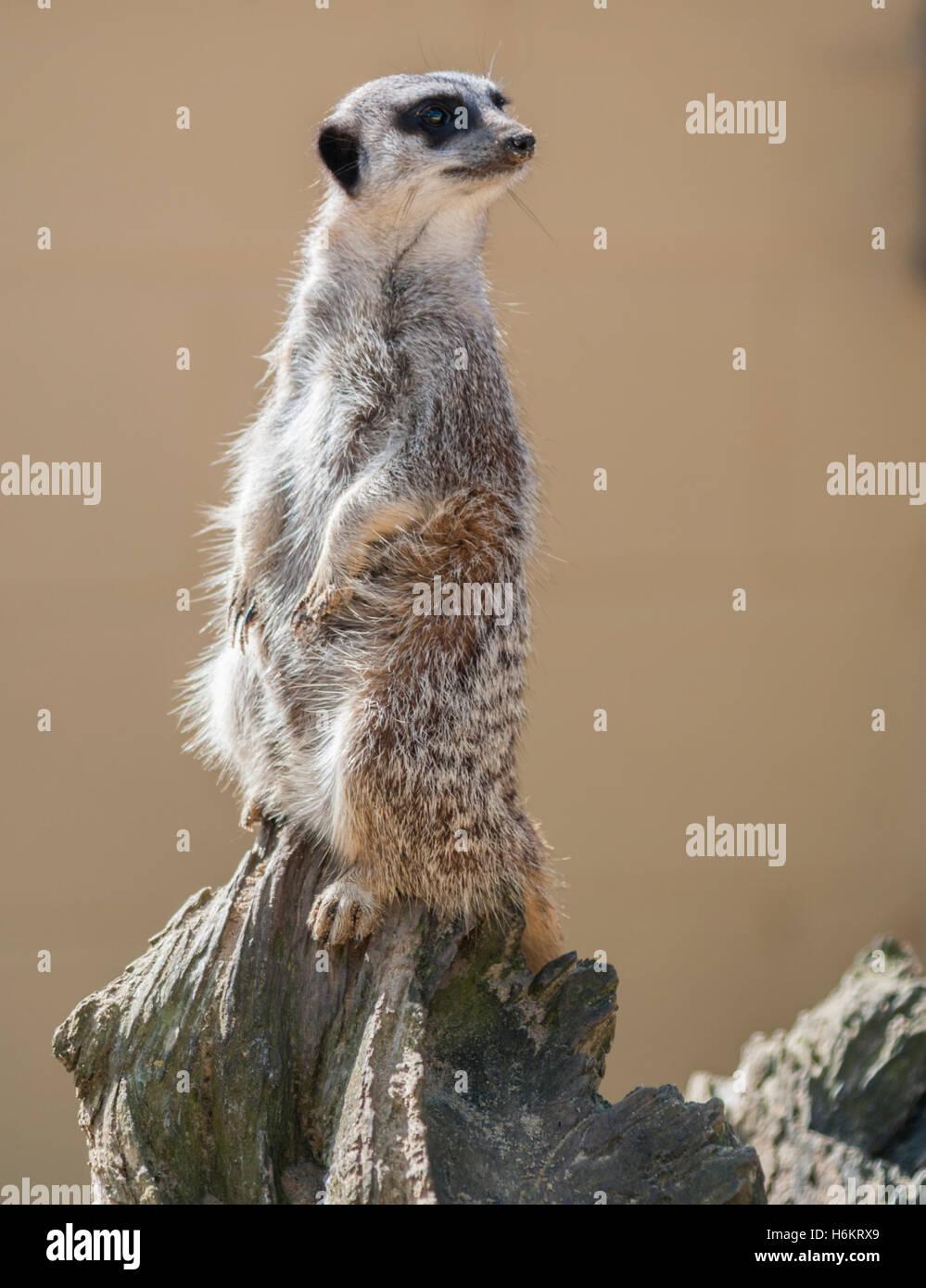 Erdmännchen - Suricata suricatta Stockbild