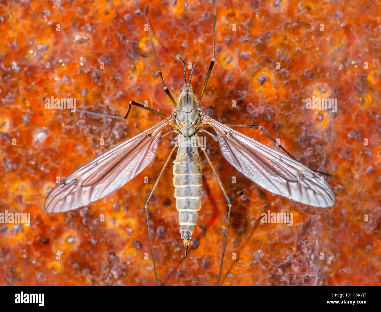 Zika virus Mücke auf rotem Hintergrund Stockbild