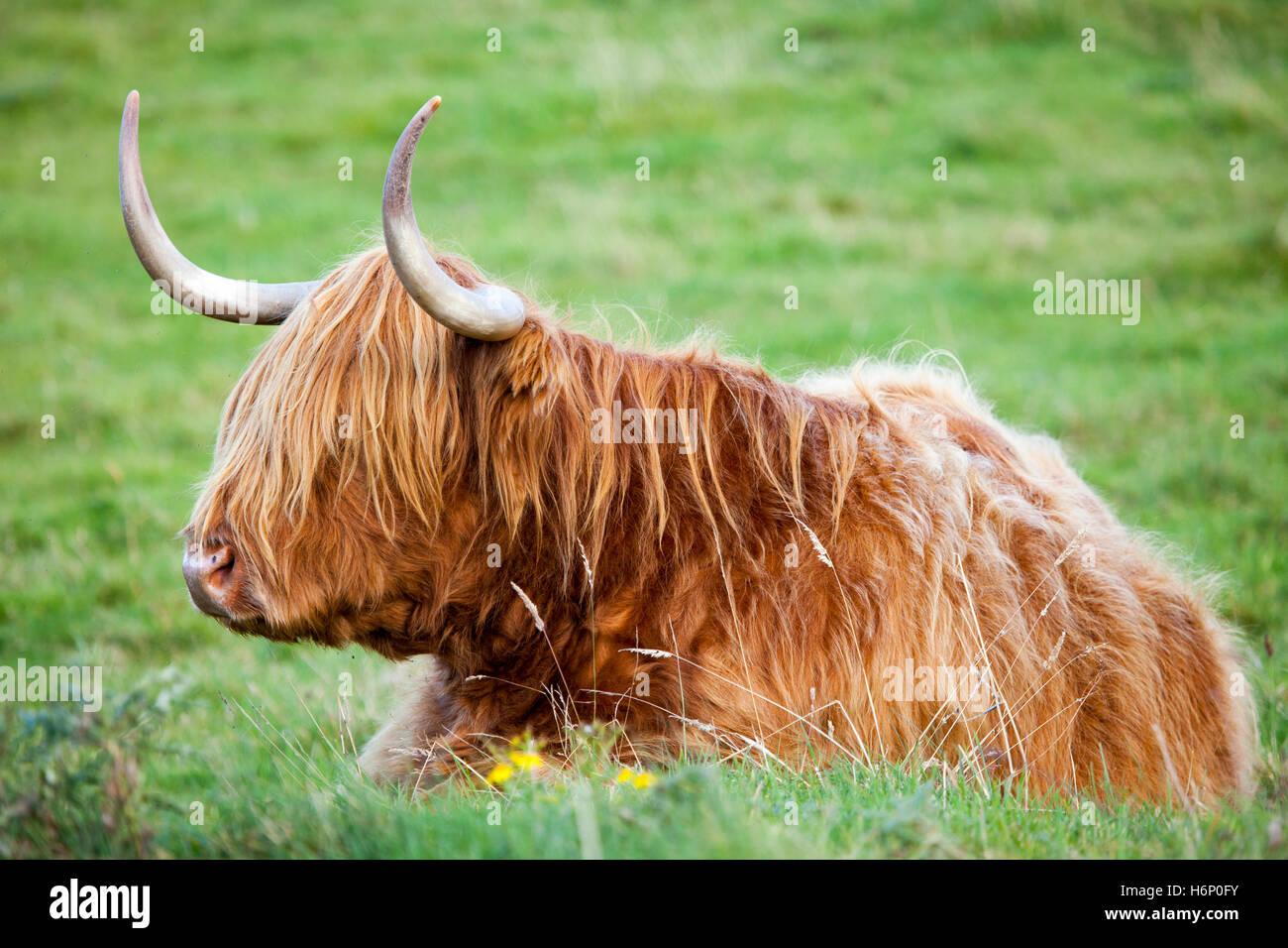 Highland Cattle legte sich in Wiese bei schönem Wetter in den schottischen Highlands Stockbild