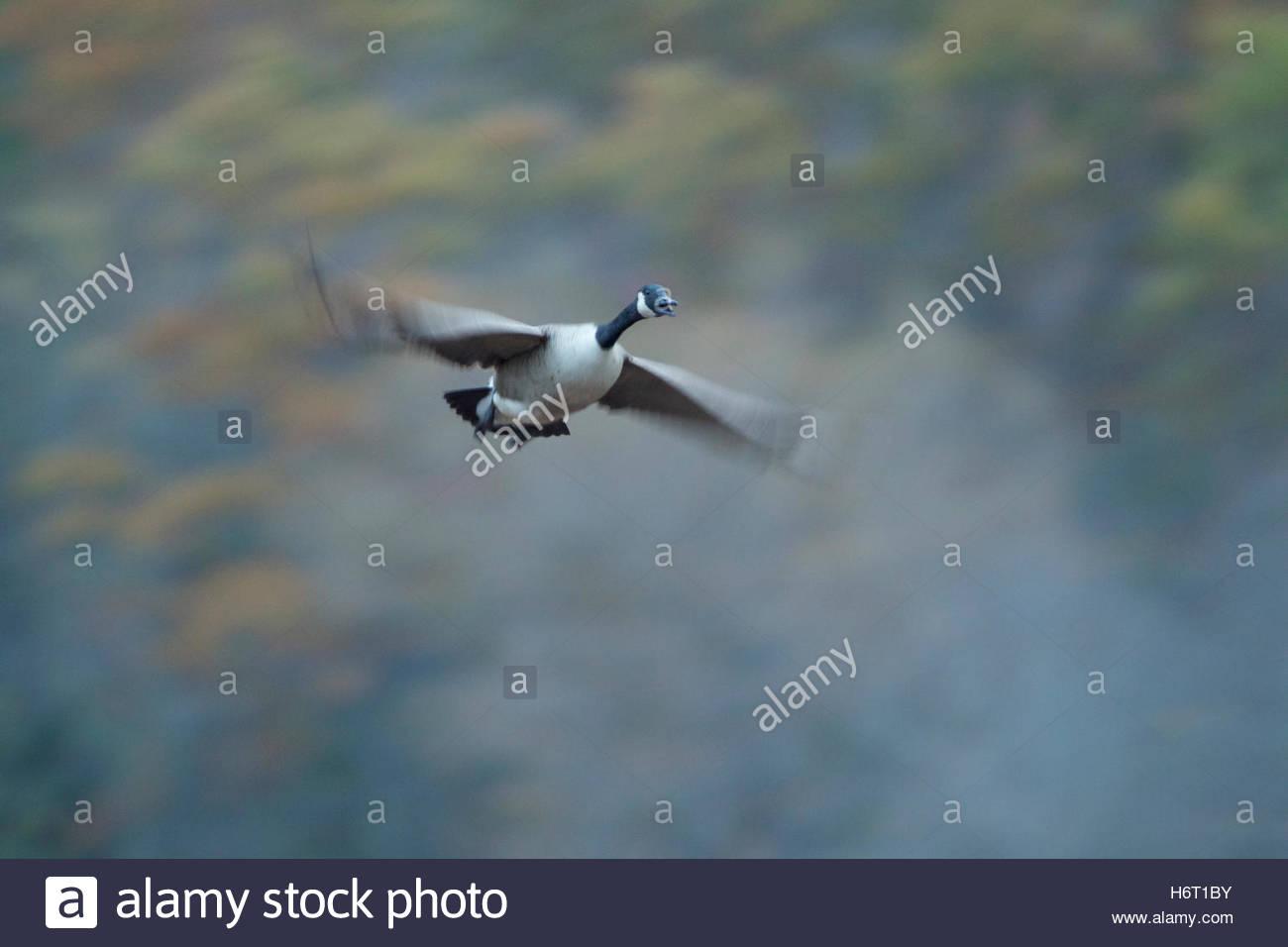 Verschwommene Flügel der Kanadagans Branta Canadensis im Flug. Stockbild