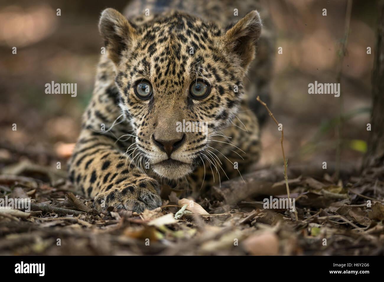 Ein Jaguar cub Stockbild