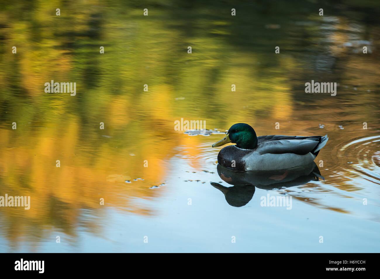 Ente auf See im Herbst Stockfoto