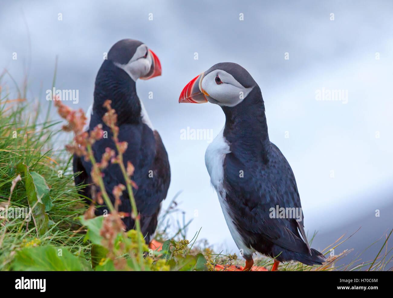 Eine Gruppe von Puffins (Papageientaucher Vögel) in Island. Stockbild
