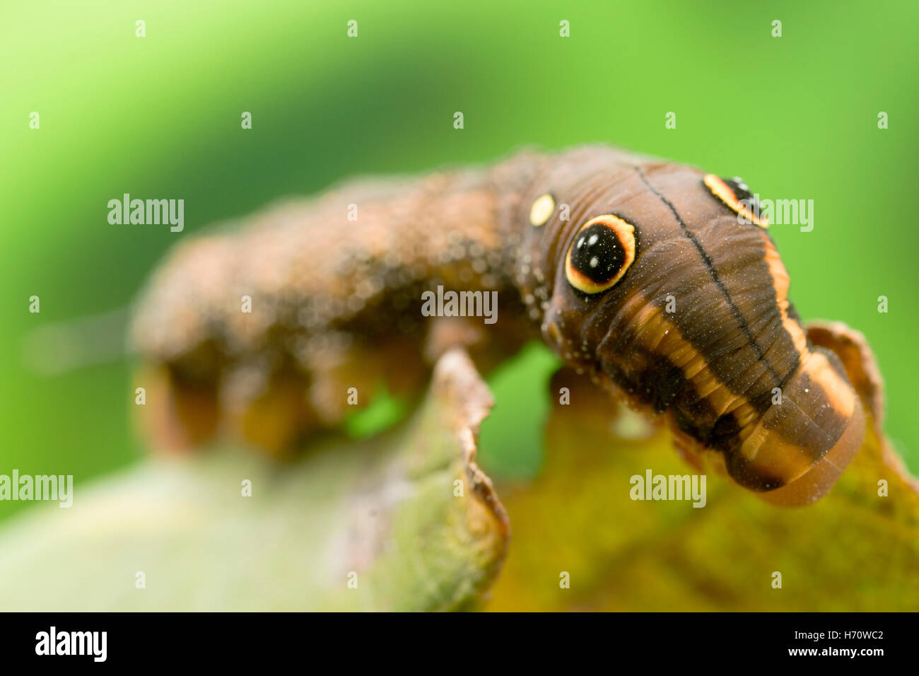 Rebe Hawk Moth unechtes Auge Raupe (Hippotion Rosetta) Stockbild
