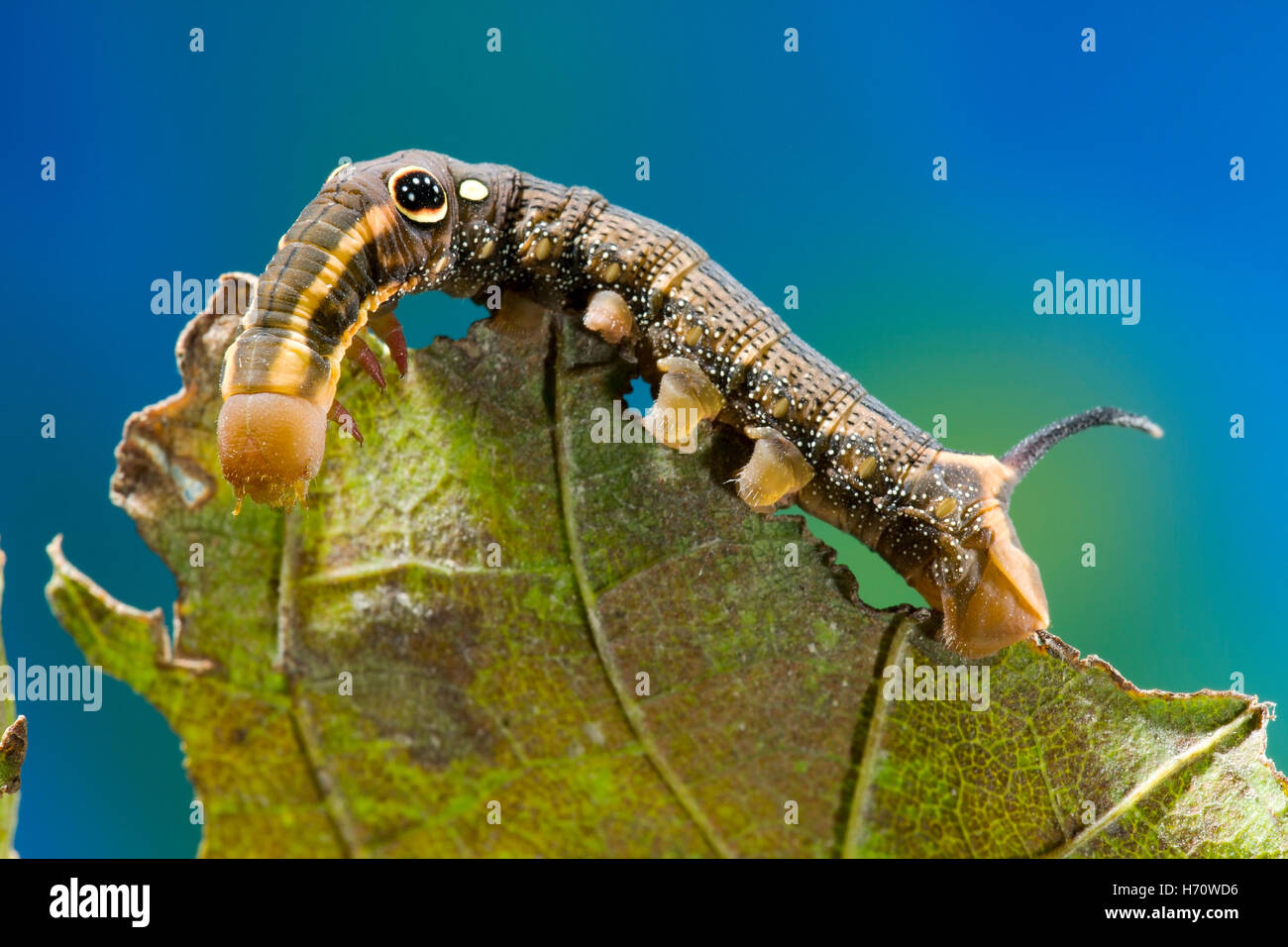 Rebe Hawk Moth unechtes Auge Raupe (Hippotion Rosetta) Stockfoto
