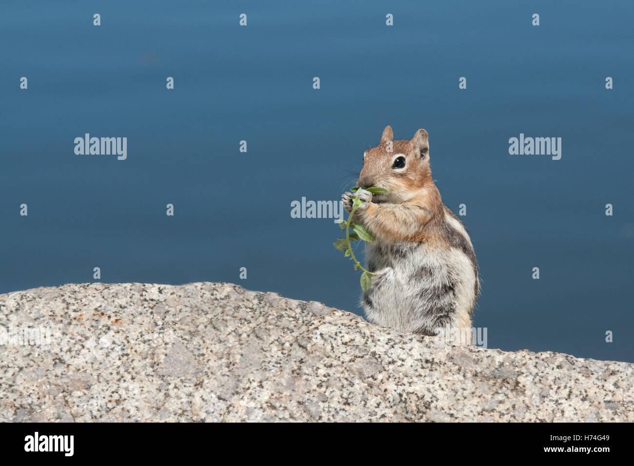 Mutter Streifenhörnchen auf einem Felsen Essen grüne Blattwerk mit blauem Hintergrund. Stockbild