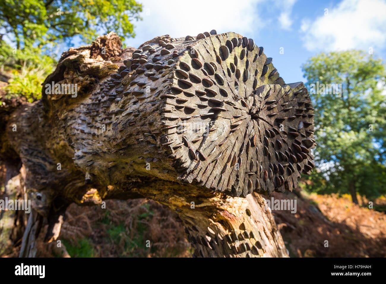 """Ein Baumstamm, gespickt mit viel Glück Münzen auf """"The Old Sarg Weg"""" zwischen Grasmere und Rydal Stockbild"""